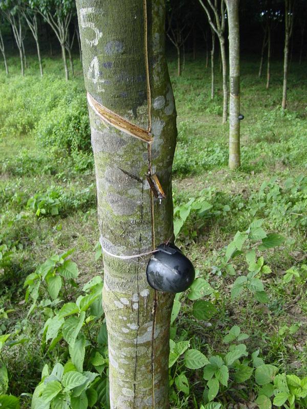 Rubber plantation - World Crops Database