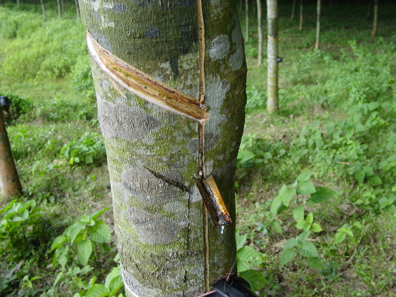 Rubber tree - World Crops Database