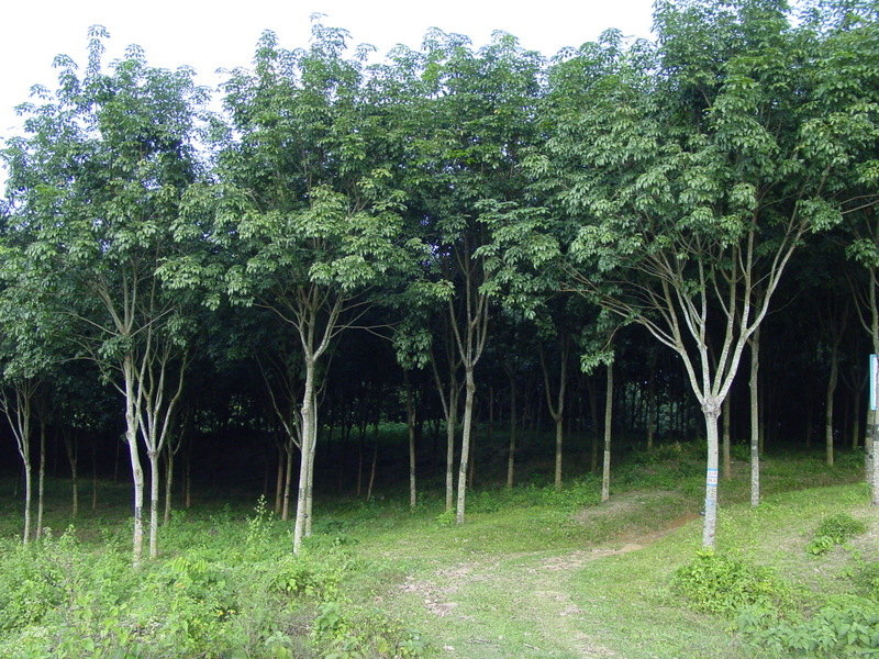 Картинки дерева каучука