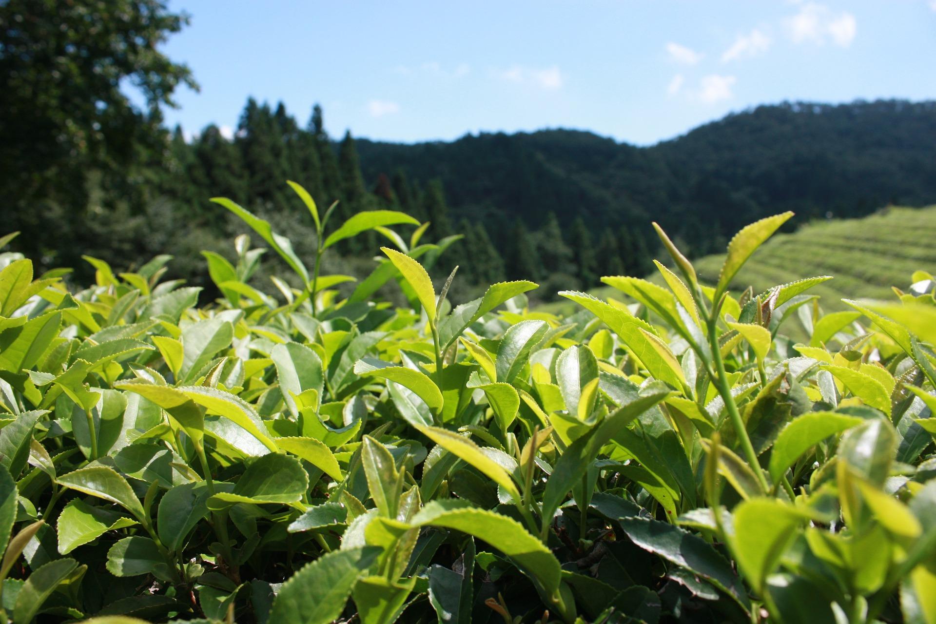 Stimulants - World Crops Database